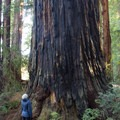 Coastal redwood (Sequoia sempervirens). Stout Memorial Grove.- Northern California Winter Road Trip