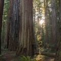 Sunlight shines through the canopy. Stout Memorial Grove.- Hiking in California's Redwoods