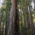 Stout Tree in Stout Memorial Grove.- California's 60 Best Day Hikes