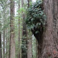 Old growth coast redwoods along Damnation Creek Trail.- Redwood National + State Parks