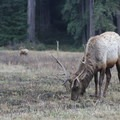 Roosevelt Elk with winter coats in Prairie Creek Redwoods State Park.- Redwood National + State Parks