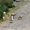 Mountain goats in the parking area.- Blue Lakes Trail
