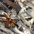 Mating monarch butterflies (Danaus plexippus) in Andrew Molera State Park.- The Best of Big Sur: Hiking, Camping, Beaches, and Waterfalls