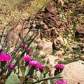 Cactus blooms near Indianhead Peak.- Anza-Borrego Desert State Park