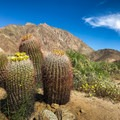 Barrel cacti blooming with Indianhead Peak towering in the background.- Anza-Borrego Desert State Park