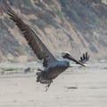 Brown Pelican at Waddell Beach. - California's Best Beaches
