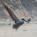 A brown pelican takes flight at Waddell Beach in Big Basin Redwoods State Park. - Big Basin Redwoods State Park