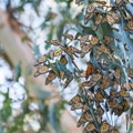 A flutter of Monarch Butterflies on the Monarch Trail.- Best Hikes in the Bay Area