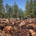 Jeffrey pine cones in Jeffrey Pine Forest.- Adventuring In California's Sierra Beyond Yosemite