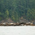 Seals rest on one of the small rocks near Cactus Island on the southern side of Johns Island.- San Juan Islands