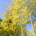 Aspen trees at Silver Lake.- A Guide to Fall Adventure in California