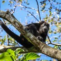 A howler monkey near the Cerro Escondido Lodge.- 4 Tips To Take Your Costa Rica Adventures to the Next Level