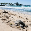 Sea turtles frequently haul out for a rest at Kuki'o Beach. Always keep your distance to avoid disturbing their recovery.- Big Island's Best Beaches
