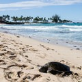 The Big Island of Hawaii: less people than O'ahu, more terrain than Maui, and the only place you can find volcanoes and black sand beaches. Here is a Honu at Kuki'o Beach.- The Ultimate Big Island Beach Road Trip