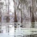Wildlife is abundant along Lake Martin, including these red-eared sliders sunning themselves.- Paddler's Guide to Louisiana Swamps, Lakes + Bayous