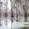 Paddling gives you the chance to get close to the wildlife, like these red-eared snappers on Lake Martin.- Adventurer's Guide to Southern Louisiana