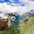 Llamas rest amid the ruins of Intipata on the Inca Trail.- Must-See History: Petroglyphs, Pictographs, Ruins + Ancient Artifacts