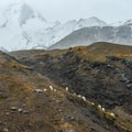 Mountain goats grazing below snow level near Loowit Falls.- Best Hikes to See Mountain Goats