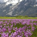 Here is a late June bloom of Mountain shooting star (Dodecatheon jeffreyi) along Elk Meadow.- Groves, riots, and Sundry Summer Flora Assemblies