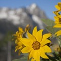Arrowleaf balsamroot (Balsamorhiza sagittata) near Marshall Lake.- 45 Unbeatable Wildflower Adventures Across the West