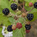 Blackberries on the Rogue River.- Seven of the West's Best Multi-Day Floats