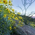 Brittlebush blooming on the road into the park.- Anza-Borrego Desert State Park