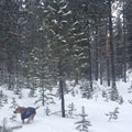 A happy pup on Old Blewett Pass.- Winter Backcountry Basics for You and Your Dog