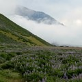 Lupine along The Lost Coast Trail.- California's Best Backpacking Trips