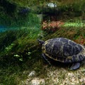 A turtle hiding among the eel grass at Blue Springs.- The Ultimate Florida Road Trip Part I: Northwest Florida