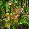 Poison ivy (Toxicodendron radicans). Photo published under CC license 2.0.- Look But Don't Touch: Etiquette in the Wild