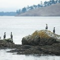 Cormorants rest on a rock near Posey Island.- Troubled Waters: The Endangered Fisheries of the Salish Sea