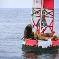 California sea lions grab a rest on a Santa Cruz Harbor buoys.- From Summit to Sea: Catching California's Winter Waves