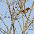 Spotted towhee (Pipilo maculatus) at William L. Findley National Wildlife Refuge, Snag Boat Bend Unit.- Winter is for the Birds