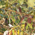 Savannah sparrow (Paserculus sandwichensis) at William L. Finley National Wildlife Refuge, Snag Boat Bend Unit.- Western Birding Hotspots