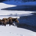 Moose crossing the Snake River in winter.- Look But Don't Touch: Etiquette in the Wild