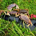 Dungeness crab (Metacarcinus magister) from Netarts Bay.- 5 Reasons to Visit the Oregon Coast this Winter