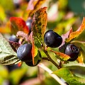 Wild blueberries are everywhere in the meadows around Tenquille Lake as well as the clearcut at the trailhead.- Tenquille Lake Hike via Tenquille Creek Trail