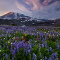 An abundant patch of wildflowers at sunset in Paradise Park.- Mount Rainier National Park