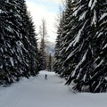 Gigantic trees frame a skater's progress through the Cabin Creek Nordic Ski Area.- Winter Retreat at Snoqualmie Pass