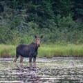 A moose at Green River Reservoir State Park.- 3-Day Adventure Itinerary in Stowe, Vermont