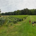 The vineyard portion is marked with a wide grassy path. - Finger Lakes Trail: Mitchellsville Gorge