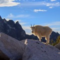 A goat poses for a perfect portrait, backlit by the morning light with McClellan Peak in the background.- Enchantment Lakes Hike via Colchuck Lake