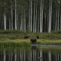 Moose along Willow Lake.- Willow Heights Hike
