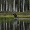 Moose coming down for a drink under the aspen at Willow Lake.- Willow Heights Hike
