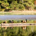 Ducks in a row at Witty's Lagoon.- Victoria B.C.'s Best Adventures