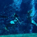 Mermaids performing in a morning show at Weeki Wachee Springs State Park.- The Best of Florida's State Parks