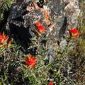 Indian paintbrush on Yellow Butte.- Mount Shasta's 9 Best Day Hikes
