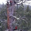 Brian fixing Damien's line while ascending the LaPine Giant ponderosa pine. Photo by Alex Ragus.- Ascending the Giants is on a Mission to Catalog Our Forests' Champion Trees