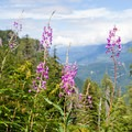 Fireweed flowers en route to Lake Serene.- 5 Last Minute Ideas for Labor Day