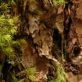 Broom moss (Dicranum scoparium) along Hunchback Mountain Trail.- An Ode to Moss!